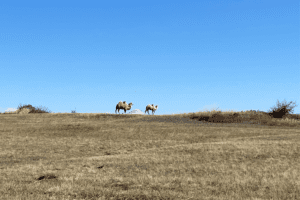 Camels in inner Mongolia